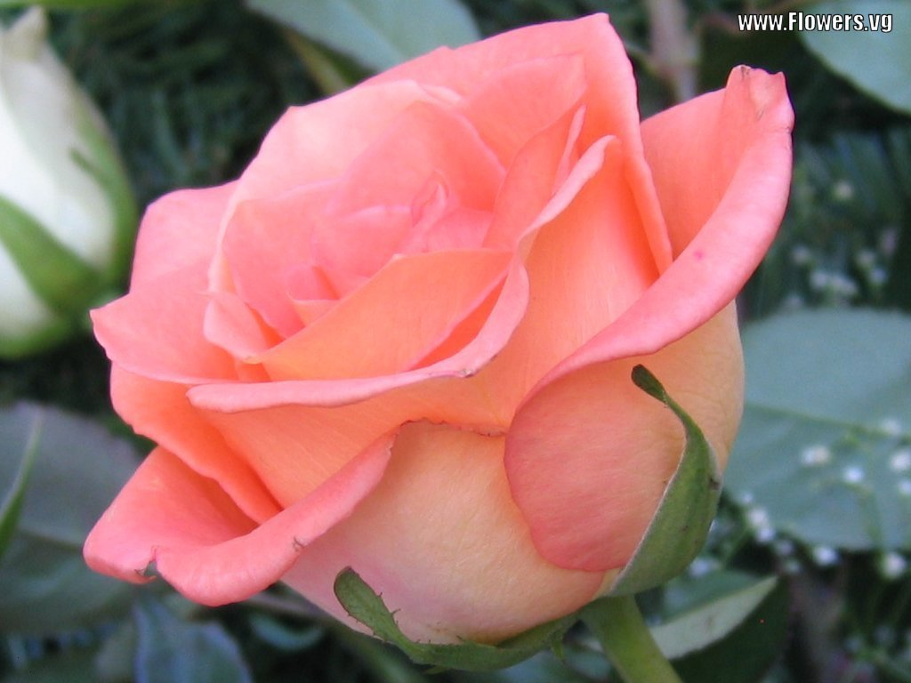 Roses Sayings and Quotes