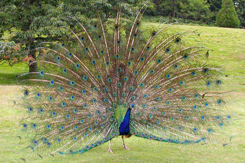 peacock essay in tamil